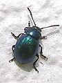 Escaravello.Bastavales Galicia 82.jpg