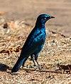 Estornino de El Cabo (Lamprotornis nitens), parque nacional Kruger, Sudáfrica, 2018-07-25, DD 56.jpg