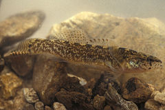 Etheostoma forbesi.jpg