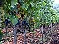 Etna Wine Agriturismo, Passopisciaro, Sicily, Italy. Field blend.jpg