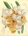 Euanthe sanderiana (as Vanda sanderiana) - Curtis' 114 (Ser. 3 no. 44) pl. 6983 (1888).jpg