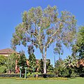 Eucalypt and flowerbed at QEII Square, Albury NSW.jpg