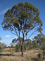 Eucalyptus coolabah X populnea natural hybrid.jpg