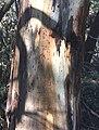 Eucalyptus viminalis - trunk bark.jpg