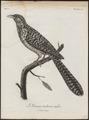 Eudynamys horonata - 1796-1808 - Print - Iconographia Zoologica - Special Collections University of Amsterdam - UBA01 IZ18800309.tif