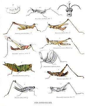 Eumastacoidea - Some eumastacoids