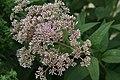 Eupatorium purpureum maculatum Gateway 2zz.jpg