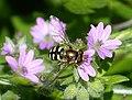 Eupeodes species (31532495273).jpg
