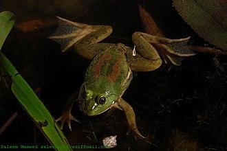 Euphlyctis hexadactylus - Image: Euphlyctis hexadactylus sal
