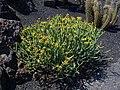 Euphorbia aphylla 001.JPG