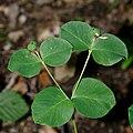 Euphorbia carniolica 2 RF.jpg
