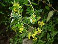 Euphorbia cornigera (7789186734).jpg