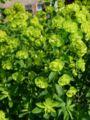 Euphorbia esula101.jpg