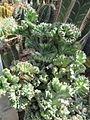 Euphorbia lactea (Cristata?) (5783293883).jpg