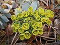 Euphorbia myrsinites flowers04.jpg
