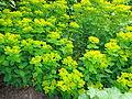 Euphorbia polychroma, wolfsmelk.JPG
