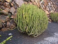 Euphorbia proballyana
