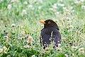 Eurasian Blackbird ITALY 28May2017.jpg