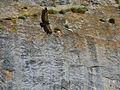 Eurasian Griffon (Gyps fulvus) (14167903360).jpg