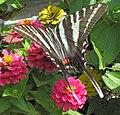 Eurytides marcellus (zebra swallowtail butterfly) on zinnias (Newark, Ohio, USA) 1 (41887119090).jpg