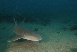 FGBNMS - nurse shark (27082539953).jpg