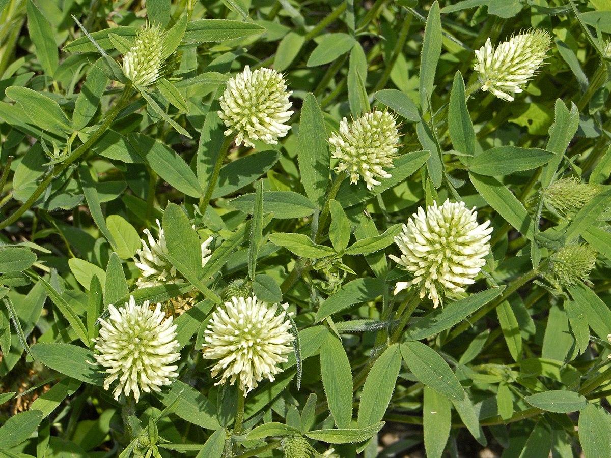 Trifolium Pannonicum Wikipedia
