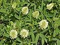 Fabaceae - Trifolium pannonicum.JPG