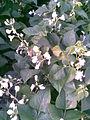 Fabales - Phaseolus vulgaris 2 - 2011.07.11.jpg