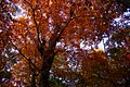 Fall-oak-trees - West Virginia - ForestWander.jpg