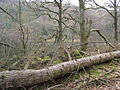 Fallen tree in Harry Guards Wood - geograph.org.uk - 747959.jpg