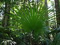 Fan palm rainforedt discovery track 4.JPG