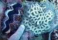 Favites halicora, Tridacna.jpg
