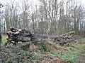 Felled beech at Dinedor Camp - geograph.org.uk - 640585.jpg