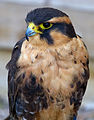 Female Aplomado Falcon (7637596238).jpg