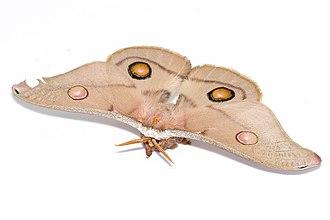 Opodiphthera eucalypti - A female emperor gum moth
