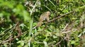 File:Female yellowthroat in Prospect Park (71964).webm