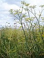 Fennel, Slapton Sands - geograph.org.uk - 517122.jpg