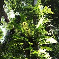 Ferns in Protected rainforest, Eungella National Park, Queensland 03.jpg