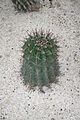 Ferocactus Latispinus & Mexico (1) (11982988395).jpg