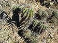 Ferocactus flavovirens (1).jpg