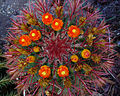 Ferocactus gracilis 01.JPG