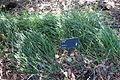 Festuca mairei - Leaning Pine Arboretum - DSC05706.JPG