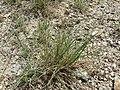 Festuca pallens plant (04).jpg