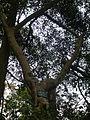 Ficus glaberrima 2.JPG