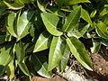 Ficus ingens, Merops-konf, a.jpg