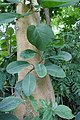Ficus populifolia-Jardin des Plantes de Paris (2).jpg