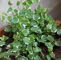 Ficus pumilla.png