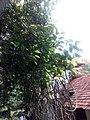 Ficustinctoriakerala 05.jpg