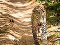 Finding Prey - Panthera pardus in Wilpattu National Park.jpg