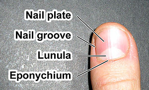 Orders of magnitude (length) - An average human fingernail is about 1 cm wide.
